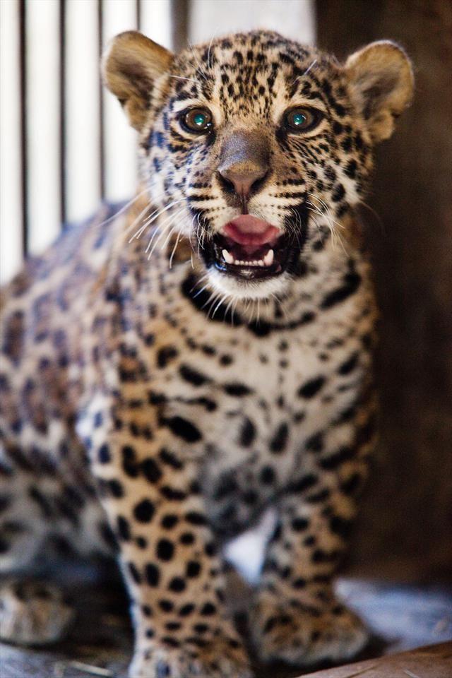 Muitas vezes 59 best onça images on Pinterest | Jaguar, Big cats and Cheetah EV82
