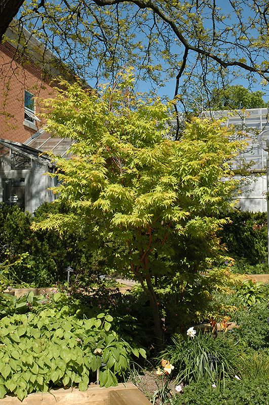 Click To View Full Size Photo Of Coral Bark Japanese Maple (Acer Palmatum U0027
