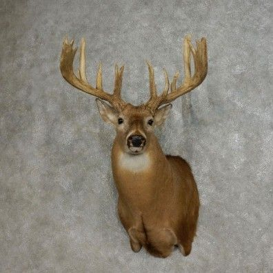 This massive Whitetail Deer Taxidermy Mount is on sale now @thetaxidermystore.com