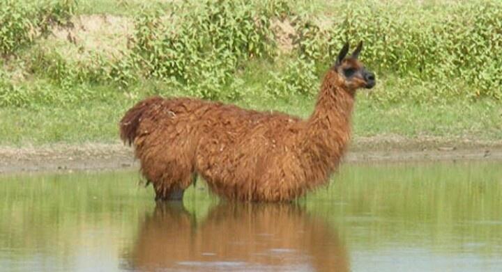 Pin by Susan Torrington on Animals - Llamas & Alpacas ...