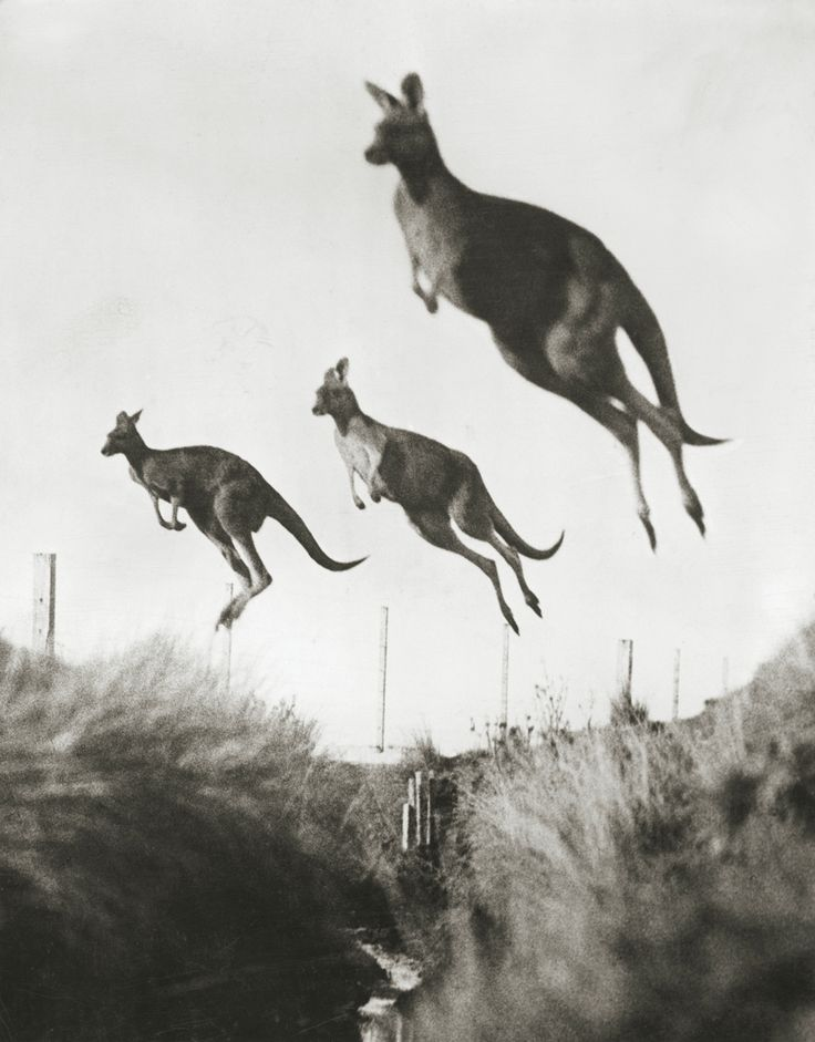 Kangaroos propel themselves with powerful hind legs. Australia, December 1926. Photograph by Wide World Photos Inc.
