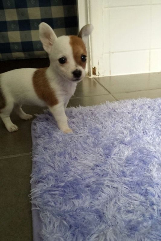 Chihuahua on Gumtree. I have one female shihuahua .she is 12 week older and she is so beautiful and friendly and so active