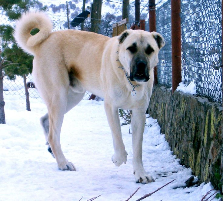 Sivas Kangal dog known as world most intelligent and expensive dog.