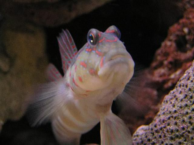 5 Reef-Safe Sand Sifter Species: Sand Sifting Gobies