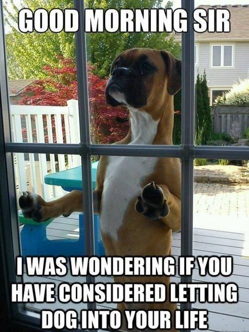 Funny Boxer Dog Meme : Hilarious good morning meme dog hello s