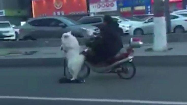 Собака на самокате рядом с хозяином на скутере (видео)