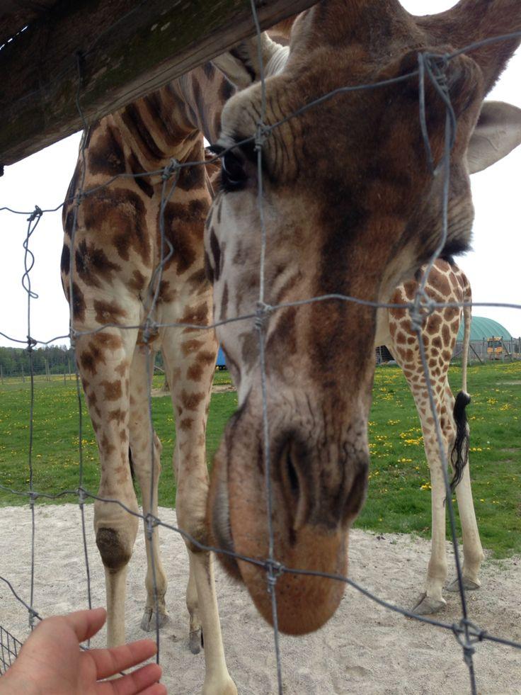 Giraffe at the elmvale zoo! So cool!