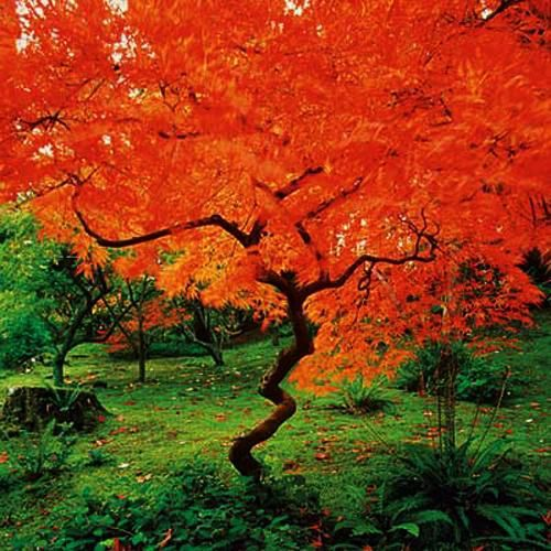 Blaze of colour from red twig dogwood tree. . Image from http://2.lushome.com/wp-content/uploads/2014/10/fall-colors-yard-landscaping-trees-shrubs-3.jpg.