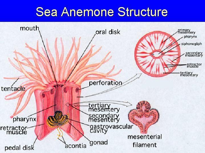 Anemone Natural History Encyclopedia Of Life
