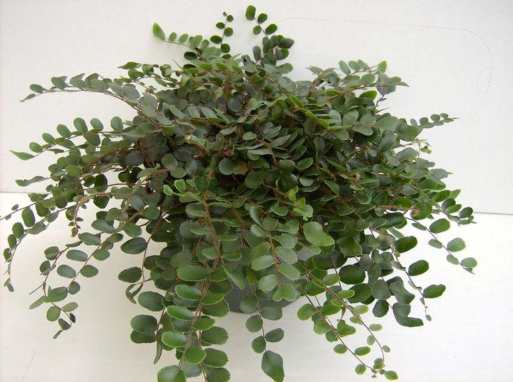 best 25 button fern ideas only on pinterest maidenhair