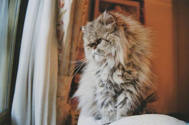Cats Craigslist Catsarebetterthandogs Sweatersforcats Persian Cat Himalayan Persian Cats Crazy Cats