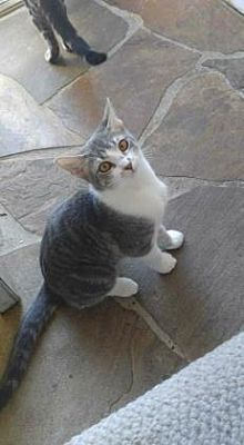 Pictures of Blossom a American Shorthair for adoption in Santa Fe, TX who needs a loving home.