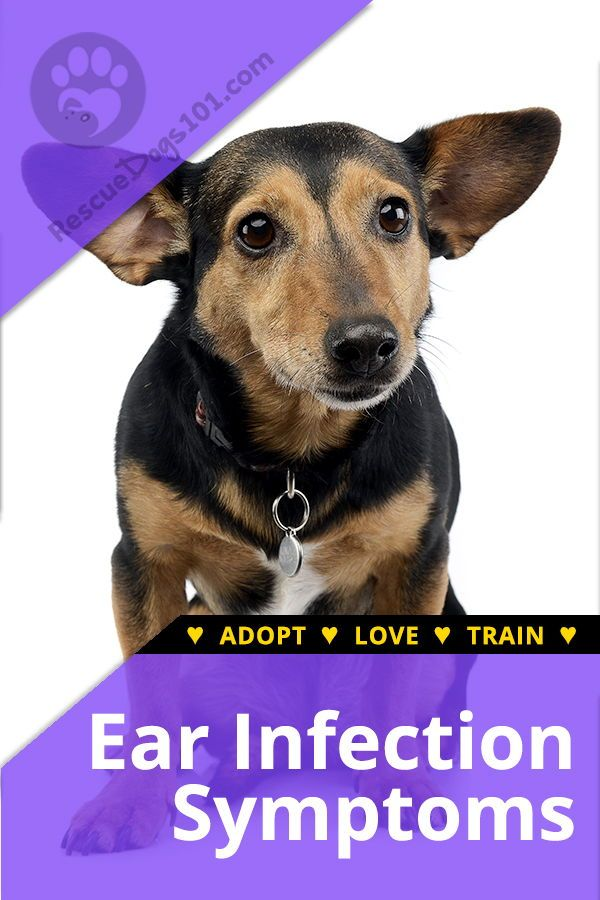 Chronic Ear Infections In Dogs Dogs Ears Infection Dog Ear