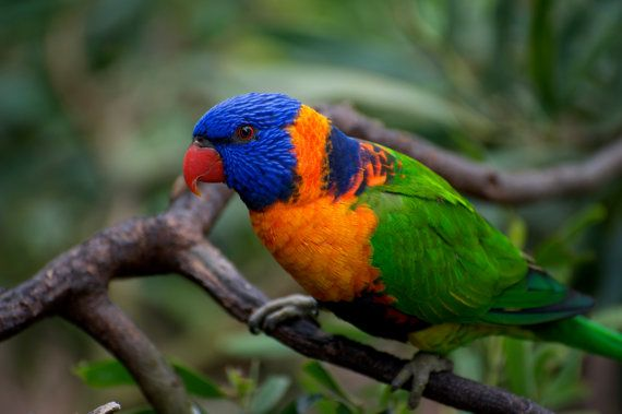 Red Collared Lorikeet Close Up by GPNaturePhotos on Etsy