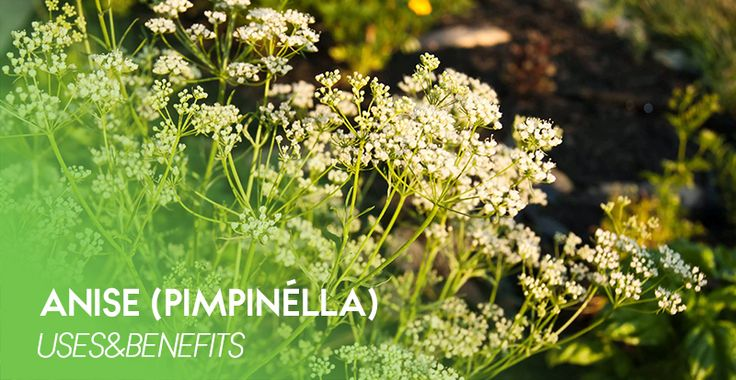 Anise (Pimpinélla) herb - 100% natural Siberian herbs that contain no GMOs, dyes, flavors or other artificial additives