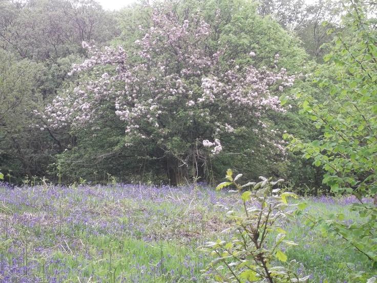 Crab apples in full blossom amongst the bluebells - spring fresh pink & blue