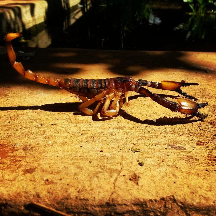 Scorpion baking in the sun