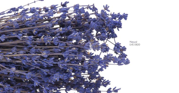 Lavender has been used for centuries as ornamental plants and essential oils for medicines, aromas and condiments. The intense color and pleasing aroma makes it a great choice for rustic arrangements with an atmosphere of Provence.