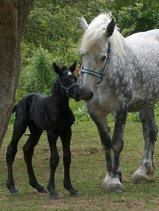 Sweet Percheron mare and foal