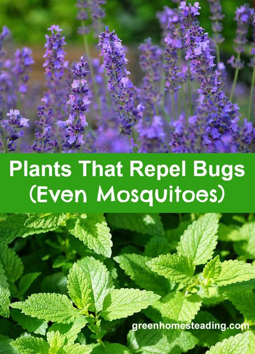 17 best images about landscaping on pinterest gardens for What plants naturally repel mosquitoes