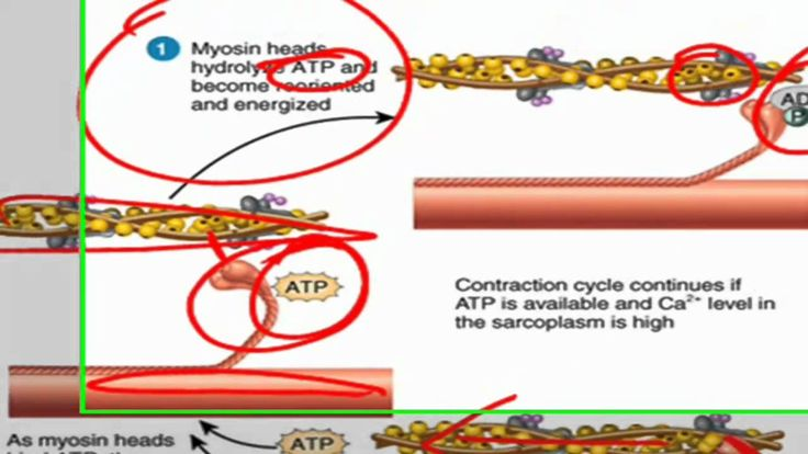 sliding filament theory of muscle contraction video | human body, Muscles