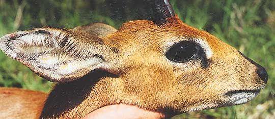 Steinbok-65-Head.jpg (540×235)