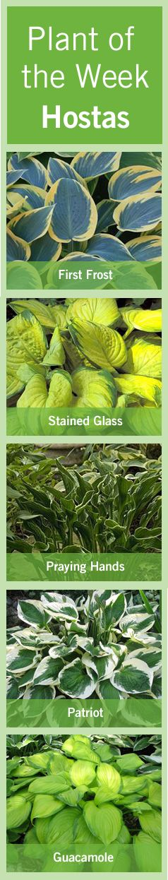 These hardy #herbaceous #perennials are easy to grow and are popular in any #garden space.  #Hostas are beautiful #plants that come in a variety of shapes, sizes and colors.  They're shade tolerant plants, which are more often grown for their #foliage then their #flowers.  Read more here http://www.bylands.com/blog-entry/plant-week-june-7-2012-hostas