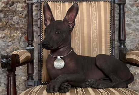 Xoloitzcuintli pup. This is an ancient breed from Mexico that comes in toy, miniature, and standard sizes. It can be coated or hairless. The Xolo is one of the world's oldest and rarest breeds and likely the first dog of the Americas. Their name is derived from Aztec words for God and Dog. Even today some people in Mexico and Central America believe these dogs can cure or ward off ailments and evil.