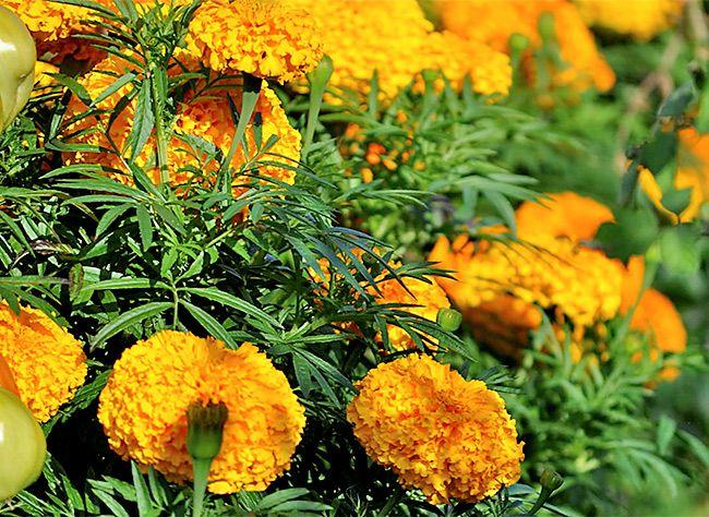 *** vidéo____Comment semer les Œillets d'Inde, flerus bien utile au jaridn et au potager ? La réponse en images en compagnie de notre jardinier, Hubert Fontaine.