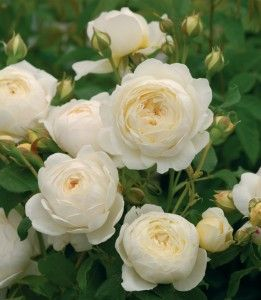 Claire Austin This repeat bloomer will provide you with amazing fragrance in several flushes through the growing season. A grand upright blooming beauty that you will love in your own garden. petal count 41+, good for zones 6-10.
