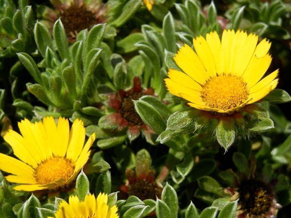 Pallenis Maritima Online Flower Garden Perennial Plants Flower Garden Herbaceous Perennials