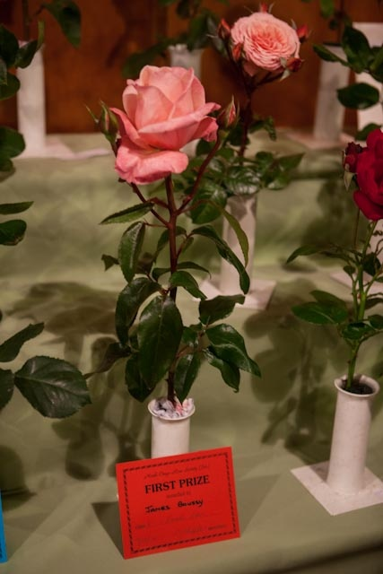 One of our award-winning roses at the North Otago Rose Society spring show.
