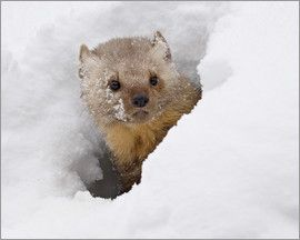 James Hager - Fisher (Martes pennanti) in snow, near Bozeman, Montana, USA (captive)