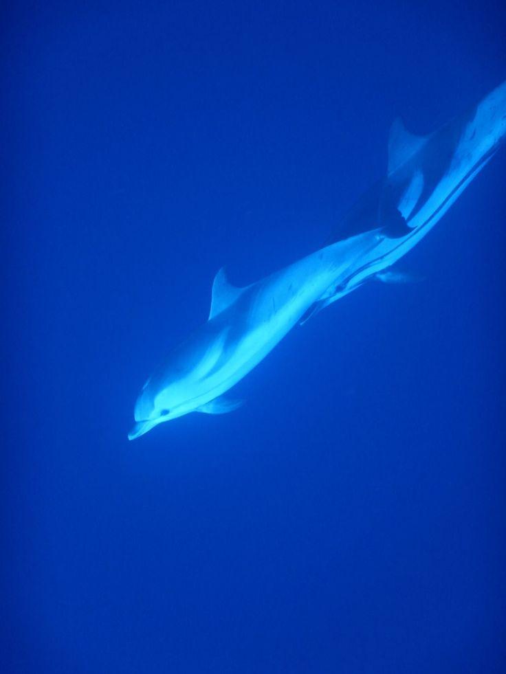 2 dauphins bleus et blancs vu par nos nageurs lors d'une sortie pour Nager avec les dauphins