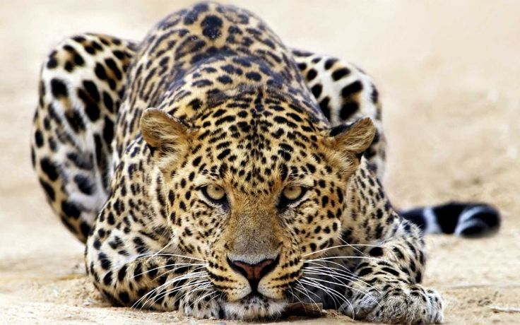 Enjoy the beauty of the agile Leopard