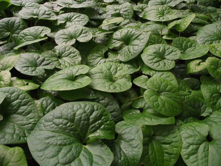 82 best Current PlantsShrubs images on Pinterest Plant Shrubs