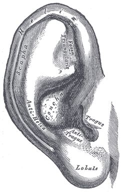 The External Ear - Human Anatomy