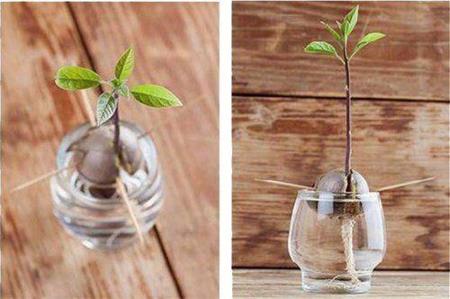 Cómo germinar un árbol de aguacate desde su hueso   El hueso o semilla del aguacate suele ser la parte que todos tiramos a la basura cuando ingerimos su exquisita pulpa.  No obstante, está demost