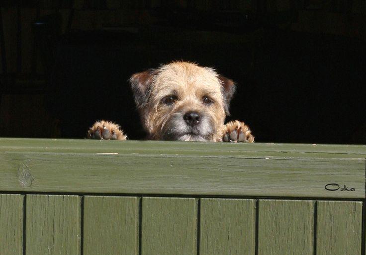 Der Border Terrier Hat Seinen Ursprung In Und Seinen Namen Von Den