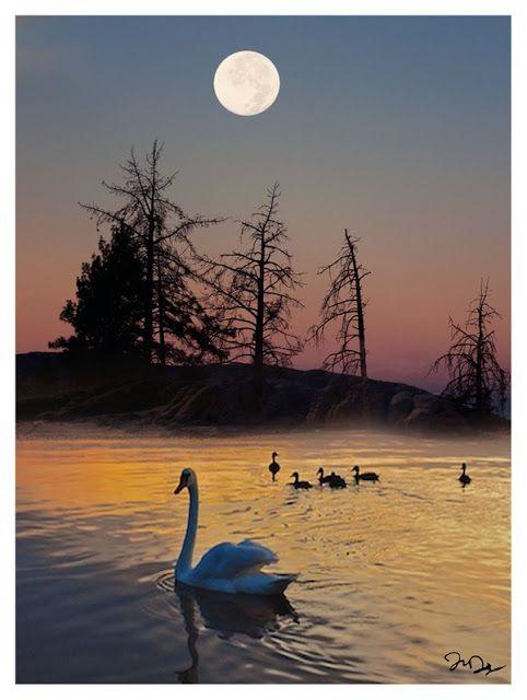 Swans at sunset moon.