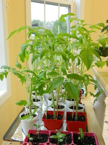 Caring for Tomato Plants in the Home Garden: Picture Guide   The Country Basket