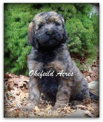 Sable Standard Goldendoodle From Okefeild Acres