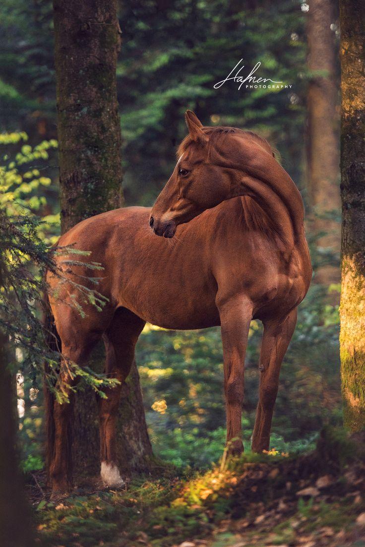 Fuchs Stute steht im Wald und blickt zurück | hafnerphotography… I #wildlifewildanimals #sniffdesignstudiopinterest
