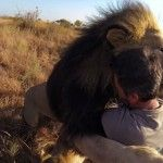 Man Tries to Hug a Wild Lion, You Won't Believe What Happens Next! No: I wouldn't want a wild lion as a pet.  But to see one in the wild is a dream!