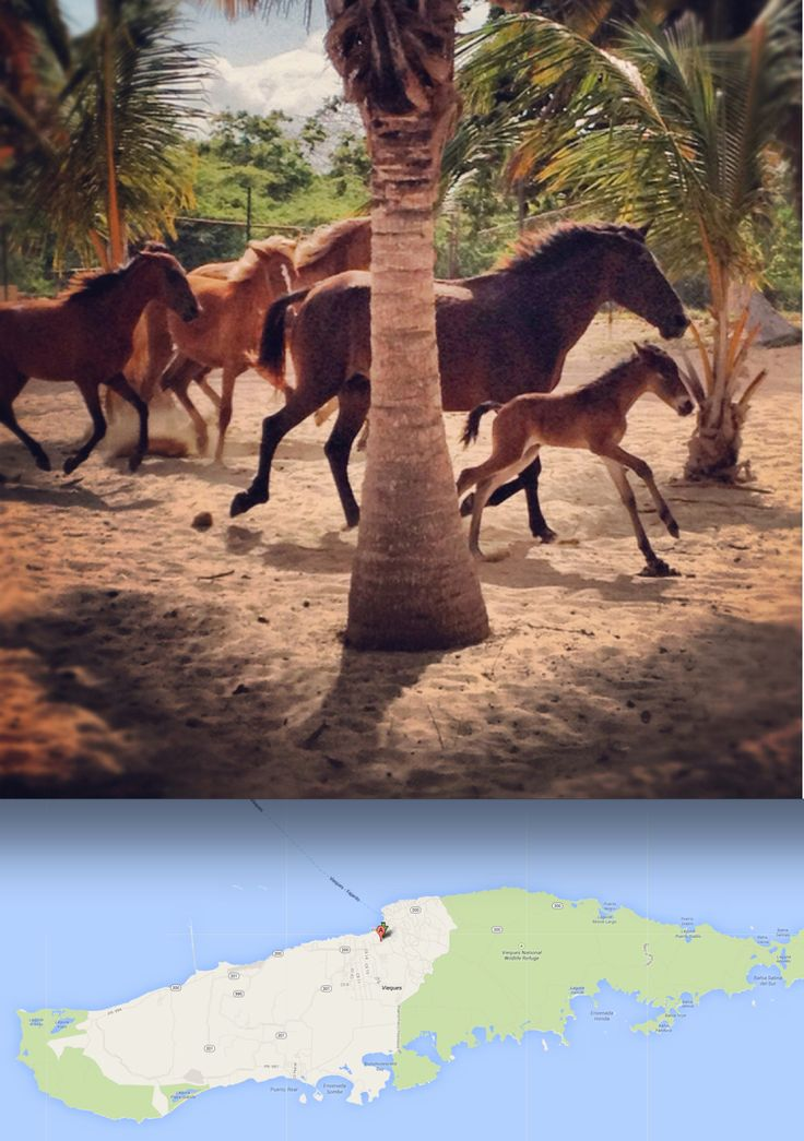 Sun Bay beach in Vieques, Puerto Rico where the horses run free >>> WOW. That looks like a really cool thing to witness.