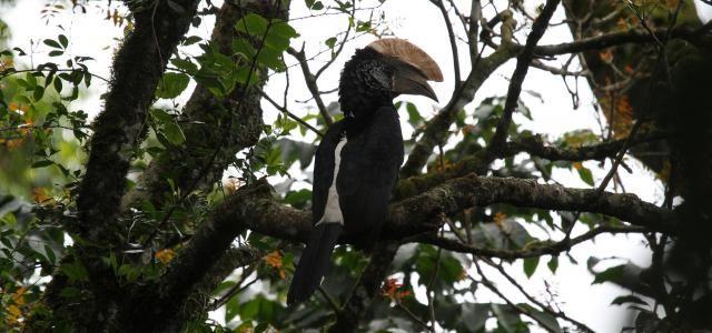 Silvery cheecked hornbill