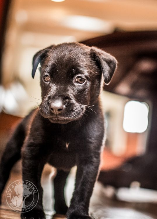 LoLa: A Labrador Puppy Who will Rescue Your Heart | Its a Lab Thing