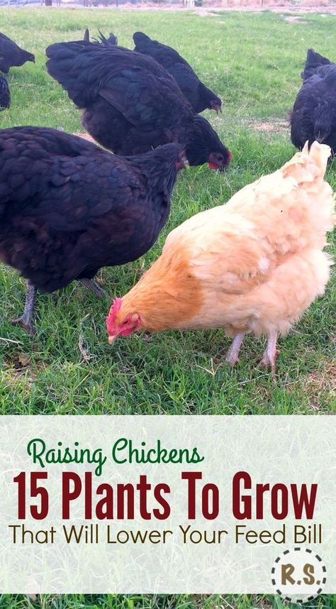 A DIY backyard chicken feeding system. Grow your chicken food in a perennial permaculture garden. Free food & shade for the chickens in the edible landscaping right outside their coop. Growing chicken food will save you money & keep them happy.