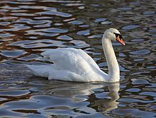 Mute Swan: The name 'mute' derives from it being less vocal than other swan species.