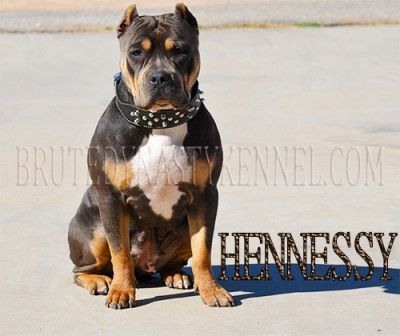 TRI COLOR AMERICAN BULLY PITBULL PUPPIES FOR SALE / BREEDER LOCATED IN CALIFORNIA AND FLORIDA, SHIPPING WORLD WIDE.